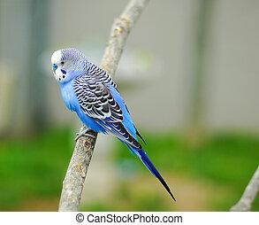 青, セキセイインコ, ペット, 鳥, オウム