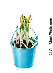 青, バケツ, 隔離された, クロッカス, 背景, 白い花