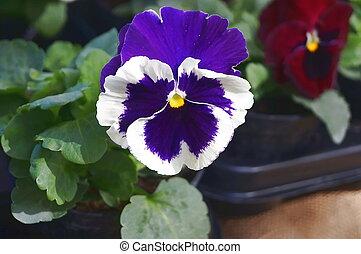 青, パンジー, 白い花
