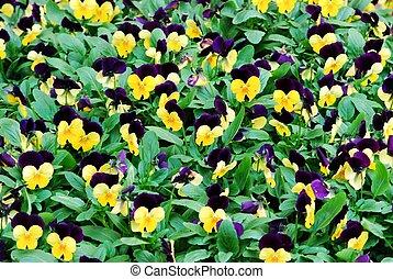 青, パンジー, 花, 黄色, background:, たくさん