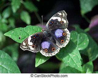 青, パンジー, 蝶
