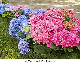 青, ピンク, アジサイ, 花, 庭