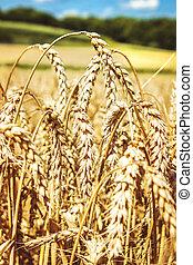 青, フィールド, 小麦, 空