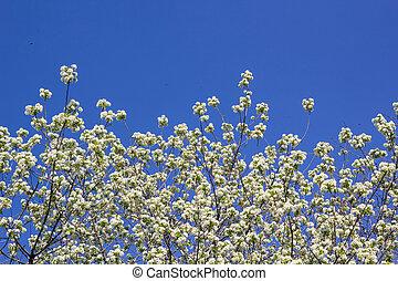 青, ブランチ, さくらんぼ, 空, 木, 咲く