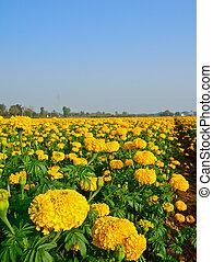 青, 分野のmarigold, 空, タイ