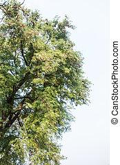 青, 古い, 色, 大きい木, 背景, 空
