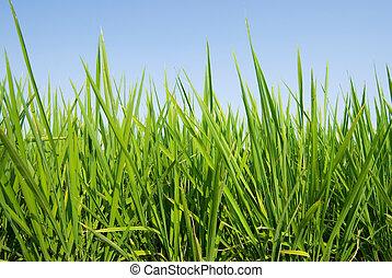 青, 土地, 空, 下に, 新たに, 草