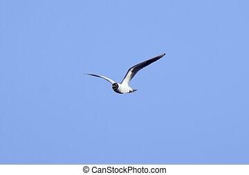 青, 大きい, 上に, 飛行, 空, 背景, かもめ