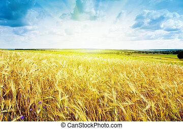 青, 小麦, 熟した, 空, に対して, 風景
