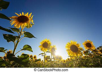 青, 底, 太陽, 開くこと, 空, 雲, に対して, ひまわり, 白, 光景