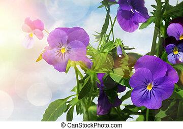 青, 有色人種, ライト, に対して, パンジー, 背景, 花