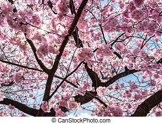 青, 木, さくらんぼ, 空, に対して, 咲く