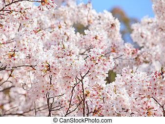 青, 木, 上に, 空, sakura