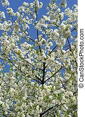 青, 木, 咲く, に対して, sky., さくらんぼ