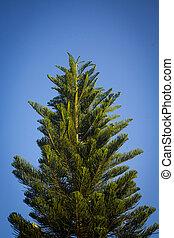 青, 木, 晴れわたった空, 松