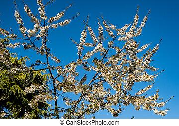 青, 桜, 春, 空, 下に, 太陽