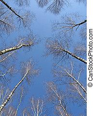 青, 概念, 空, 木立ち, シラカバ, リーダー