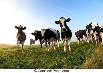 青, 牛, 上に, 空, 牧草地
