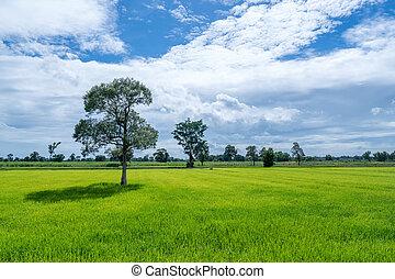 青, 米, 空, 曇り, フィールド, 緑の草