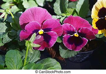 青, 紫色の花, 黒, パンジー