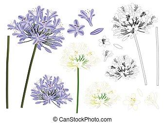 青, 紫色, agapanthus, アウトライン
