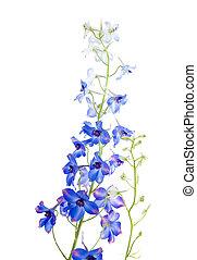 青, 花が咲く, ヒエンソウ, スパイク