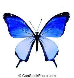 青, 蝶, 隔離された, 背景, 白