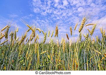 青, 金, 小麦, 空, 隔離された, フィールド