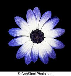 青, 頭, 花, osteospermum, -, デイジー, 白