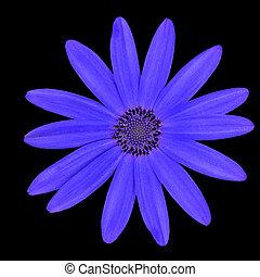 青, 頭, 花, osteospermum, 隔離された, デイジー