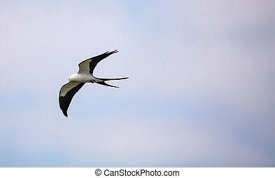 青, 飛ぶ, ツバメ - 尾行された, 上に, 空, 浜, 横切って, tigertail, 凧