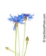 青,  Cornflower, 花束, 隔離された, 花, 野生
