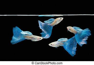 青, guppy, ペット, fish, トロピカル, 水泳