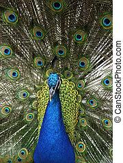 青, -, indian, 動物, peafowl, cristatus), (pavo