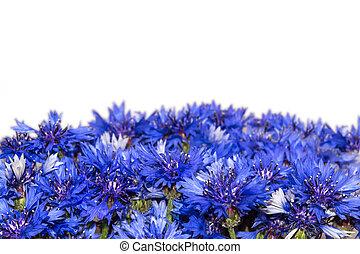 青,  knapweeds, 隔離された, 花,  cornflowers, 花が咲く, ボーダー