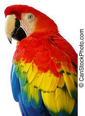 青, macaw, 鳥, 赤