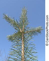 青, pine-tree, 概念, 空, 自然, 緑