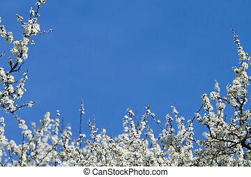青, sky., 花, blackthorn, flowers., ブランチ, 白