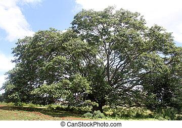 非常に, 大きい木