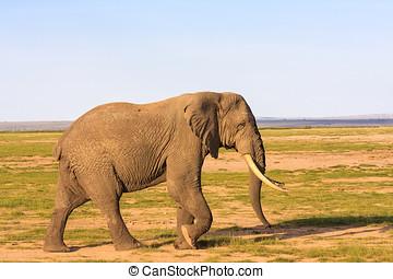 非常に, 大きい, 象, 中に, ∥, savanna., amboseli, kenya