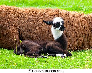 面白い, かわいい, llama., アメリカ人, 赤ん坊, ほ乳類, 南