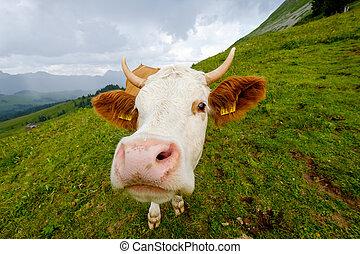 面白い, クローズアップ, 牧草地, 牛, 口輪, 肖像画, 高山
