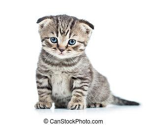 面白い, 子ネコ, ねこ, 折り目, スコットランド, 赤ん坊