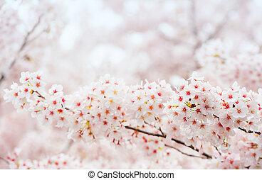 韓国, フォーカス, sakura, 季節, さくらんぼ, 背景, 花, 柔らかい