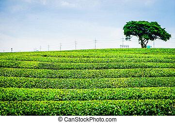 韓国, jeju, お茶, 緑, 農業, 南