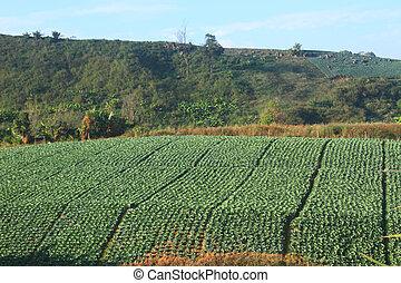 領域, 卷心菜, 農業