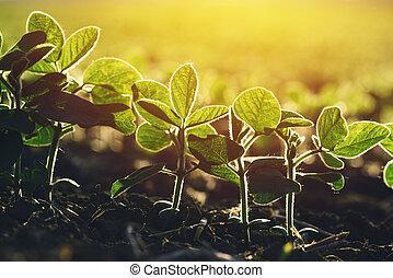 領域, 植物, 向上, 大豆, 關閉