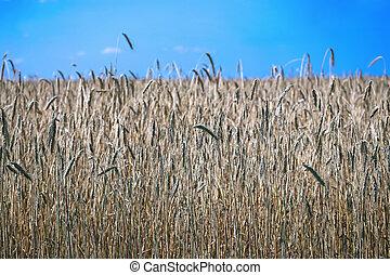 領域, ......的, 成熟, 黑麥