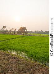 領域, 米, 綠色, 傍晚