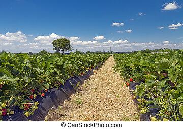 領域, 草莓